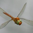 Norfolk Hawker Dragonfly by Robert Abraham