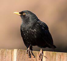 Blackbird On A Fence by jboffinphoto