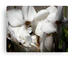 Cyclamen Blossoms Canvas Print