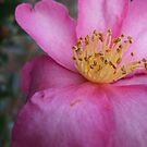 Pink Petals by MissA