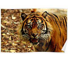 Sumatran Tiger IV Poster