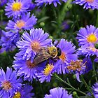 Bee On Asters by SusieMG2015
