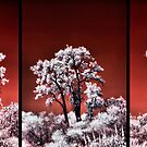 Australian Christmas Trees ~ HDiR by Pene Stevens