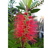 """Bottle Brush.""  (2) Photographic Print"