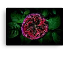 Scent of a Rose Canvas Print