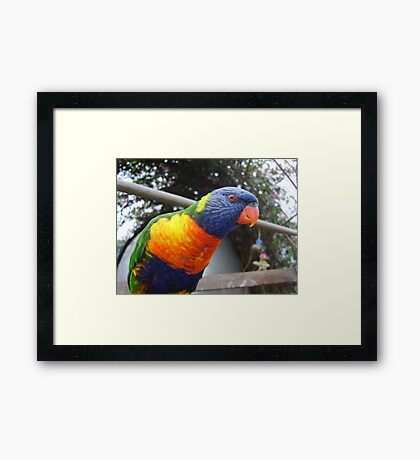 Laurie Lorikeet Framed Print