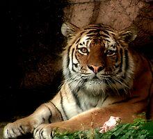 Tiger Eyes by Jarede Schmetterer