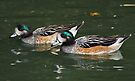 Chiloé Wigeons by Krys Bailey