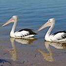 Australian Pelican by Robert Abraham
