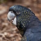 Red-Tailed Black Cockatoo by margotk