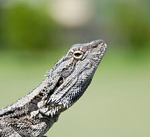 Bearded Dragon - Native Fauna - Australia by Michael Norris
