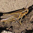 Young Grasshoper by Rachel Hoffman