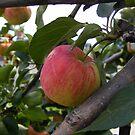 Spring Apple by Rachel Hoffman
