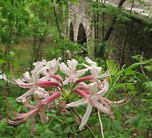 Pinxterbloom Azalea with Bridge at Bowman's Hill by Anna Lisa Yoder