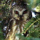 Saw Whet owl by madmac57