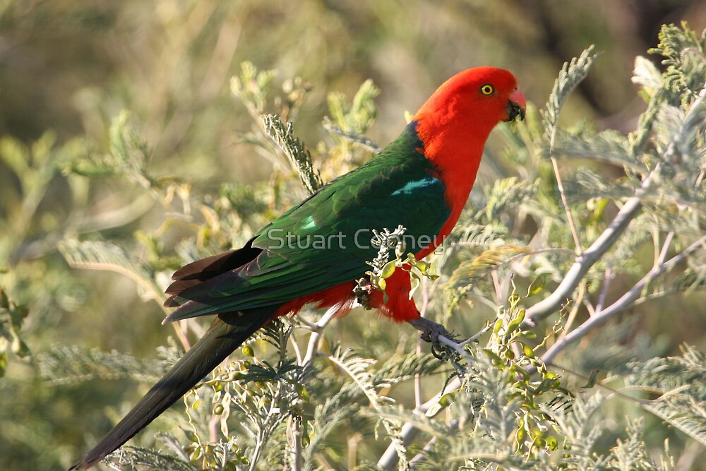Australian King Parrot by Stuart Cooney