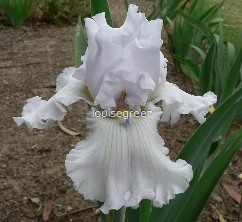 "Bearded Iris - ""Alabaster Unicorn"" by louisegreen"