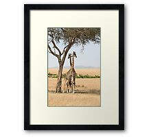 Maasai Giraffes. Males Necking. Maasai Mara, Kenya  Framed Print