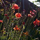 Poppies a glow. by Karen  Betts