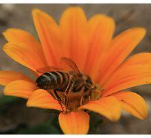 Bee August 2011 Photographic Print