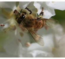 Bee October 2011 Photographic Print