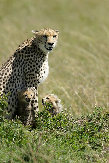 Cheetah mother and two cubs by Yves Roumazeilles