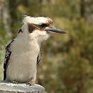 Kookaburra by Trevor Needham