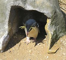 Rockhopper Penguin by Richard Durrant