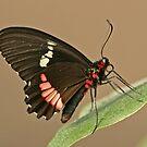 Cattle Heart Butterfly by Robert Abraham