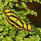 Bamboo Page Butterfly by Robert Abraham