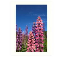 Colourful Lupins Art Print