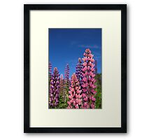 Colourful Lupins Framed Print