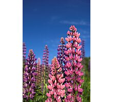 Colourful Lupins Photographic Print
