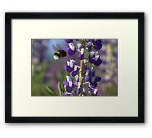 Lupin and Bumblebee  Framed Print