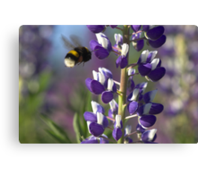 Lupin and Bumblebee  Canvas Print