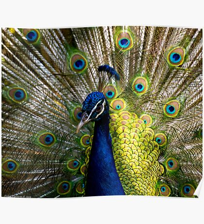a beautiful peacock Poster