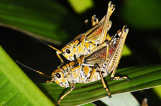 Two Grasshoppers by David Lee Thompson