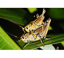 Two Grasshoppers Photographic Print
