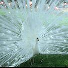 White Peacock by Kristin Hamm