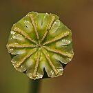 Poppy Pod by Robert Abraham