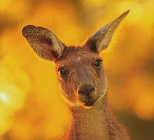 Kangaroo - Western Australia (iPhone Case) by Dave Catley