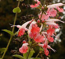 Salvia by JDNarts