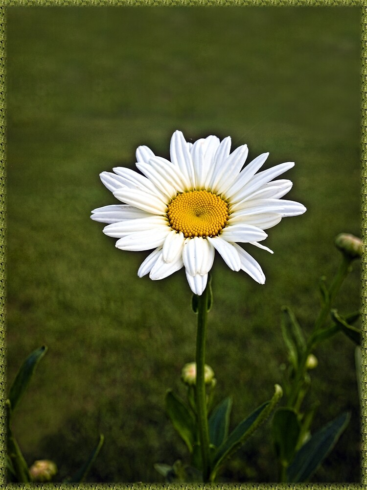 Sign of Spring Daisy in Bloom by ✿✿ Bonita ✿✿ ђєℓℓσ