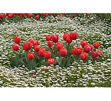 Tulips in a Field of Flowers - Canberra Floriade Photographic Print