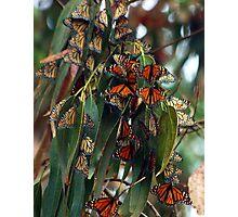 Migrating Monarchs Photographic Print