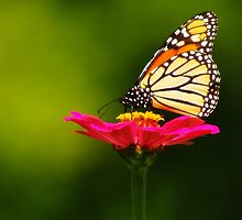 SEPTEMBER MONARCH by Gaby Swanson  Photography