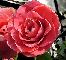 Pink rose by Becky Hirst