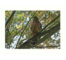 Northern Goshawk Art Print