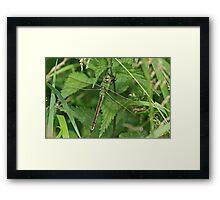 Emperor Dragonfly Framed Print