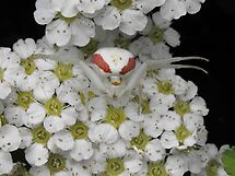 Crab Spider by Tracy Faught